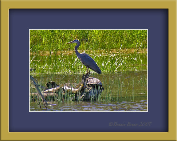 blueheron2-copy-2.jpg