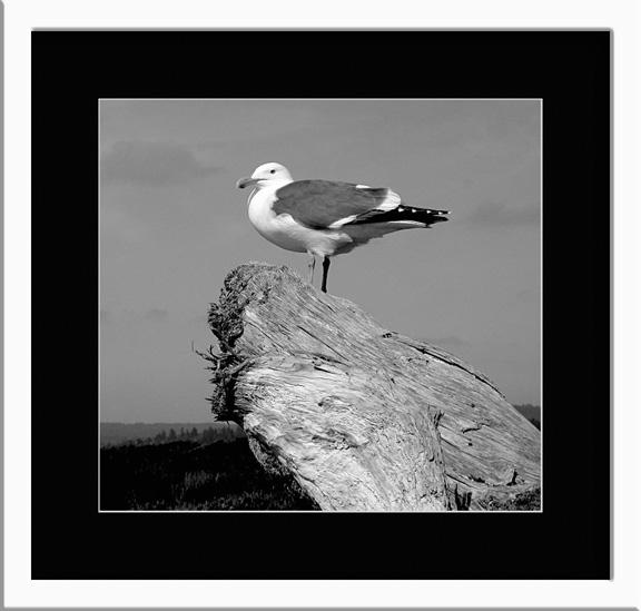 gull1-copy.jpg