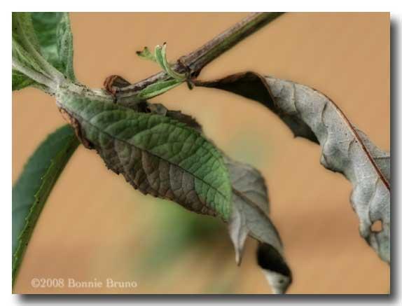 Butterfly Bush Leaves, Butterfly Bush