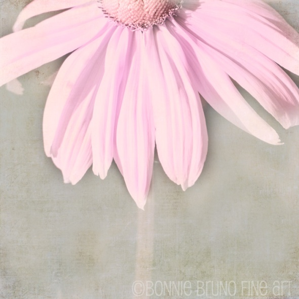 dusky_pink_coneflower
