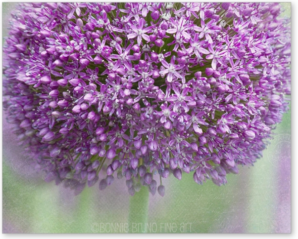 giant-allium